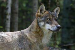 древесины волка портрета молодые Стоковые Изображения