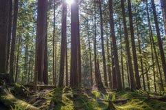 Древесины в олимпийском национальном парке Стоковые Изображения