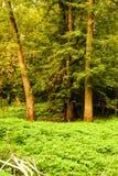 Древесины вдоль Миссиссипи Стоковая Фотография
