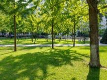 Древесины гинкго Стоковое Фото