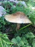 древесины гриба Стоковое Изображение