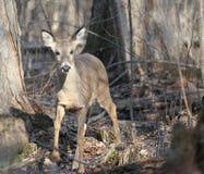 древесины зимы whitetail конца оленей Стоковые Фото