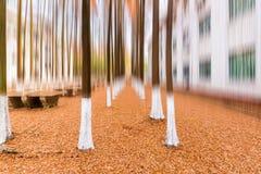 Древесины метасеквойи в зиме Стоковые Изображения RF