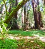 Древесины Сан-Франциско Калифорния Muir Стоковые Изображения