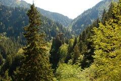 древесины сосенки Стоковые Изображения