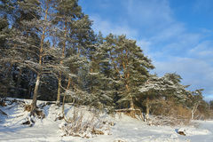 Древесины сосны в зиме Стоковая Фотография RF