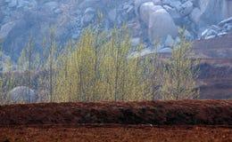 Древесины тополя Стоковое Фото
