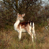 древесины bambi Стоковое фото RF