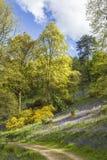 Древесины Bluebell в дендропарке Winkworth Стоковые Фотографии RF