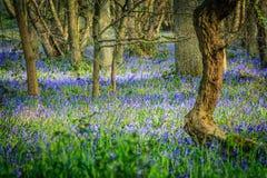 Древесины Bluebell Стоковые Изображения RF