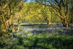 Древесины Bluebell Стоковая Фотография
