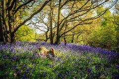 Древесины Bluebell Стоковая Фотография RF