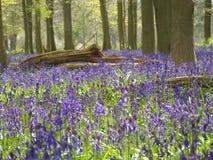 Древесины Bluebell Стоковое Изображение