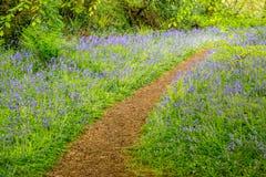 Древесины Bluebells на Godolphin в Корнуолле Англии Великобритании Стоковая Фотография RF