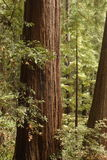 древесины muir Стоковое фото RF