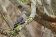 Древесин-голубь запятнанный изумрудом Стоковое Изображение