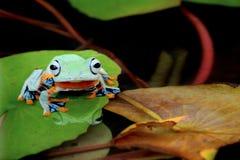 Древесная лягушка, лягушка летая на лилии воды Стоковые Фотографии RF