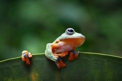 Древесная лягушка, лягушка летая на лист gree Стоковое Изображение RF