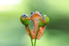 Древесная лягушка, лягушка летая, javan древесная лягушка, wallace Стоковое Изображение