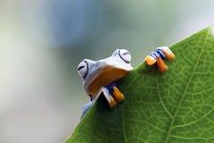 Древесная лягушка, лягушка летая, javan древесная лягушка, wallace Стоковые Фотографии RF