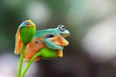 Древесная лягушка, лягушка летая, javan древесная лягушка, wallace Стоковое Изображение RF