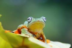 Древесная лягушка, лягушка летая, javan древесная лягушка, wallace Стоковые Изображения RF