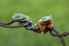 Древесная лягушка, лягушка летая, javan древесная лягушка, wallace Стоковые Изображения