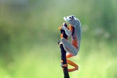 Древесная лягушка, лягушка летая, javan древесная лягушка, wallace Стоковая Фотография RF