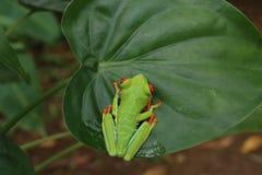 Древесная лягушка наблюданная красным цветом или зеленая древесная лягушка Стоковые Изображения RF
