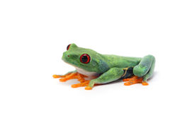 Древесная лягушка наблюданная красным цветом на белой предпосылке Стоковое Фото