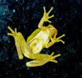 Древесная лягушка на окне стоковое фото rf