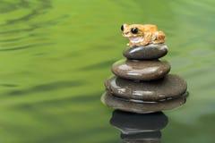 Древесная лягушка павлина Стоковые Изображения