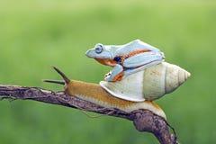 Древесная лягушка сидя на улитке тела Стоковые Изображения RF