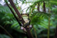Древесная лягушка Feas feae Rhacophorus, древесная лягушка на белом backgroun Стоковые Фото