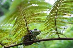 Древесная лягушка Feas feae Rhacophorus, древесная лягушка на больших лист ладони Стоковое Изображение RF