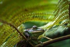 Древесная лягушка Feas feae Rhacophorus, древесная лягушка на больших лист ладони Стоковые Изображения RF