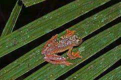 Древесная лягушка арлекина Стоковые Фотографии RF