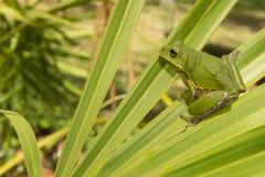 Древесная лягушка лаять Стоковая Фотография RF