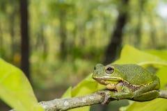 Древесная лягушка лаять Стоковое фото RF