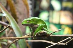 Древесная лягушка белизны Стоковое Фото