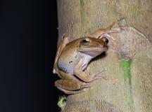 Древесная лягушка Брайна Стоковые Фото