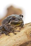 Древесная лягушка Брайна Стоковые Фотографии RF