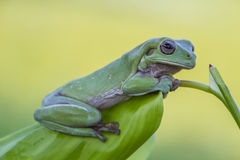 Древесная лягушка была побеспокоена Стоковое Фото