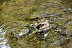 Древесная лягушка в потоке Стоковое фото RF