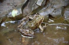 Древесная лягушка в потоке Стоковые Изображения RF