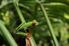 Древесная лягушка наблюданная красным цветом или зеленая древесная лягушка Стоковое Фото