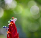 Древесная лягушка наблюданная красным цветом Коста-Рика Стоковые Изображения RF