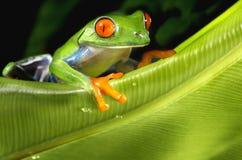 Древесная лягушка наблюданная красным цветом на зеленых лист Стоковое Изображение RF