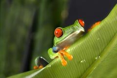 Древесная лягушка наблюданная красным цветом на зеленых лист Стоковая Фотография RF