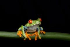 Древесная лягушка наблюданная красным цветом на стержне Стоковые Фотографии RF